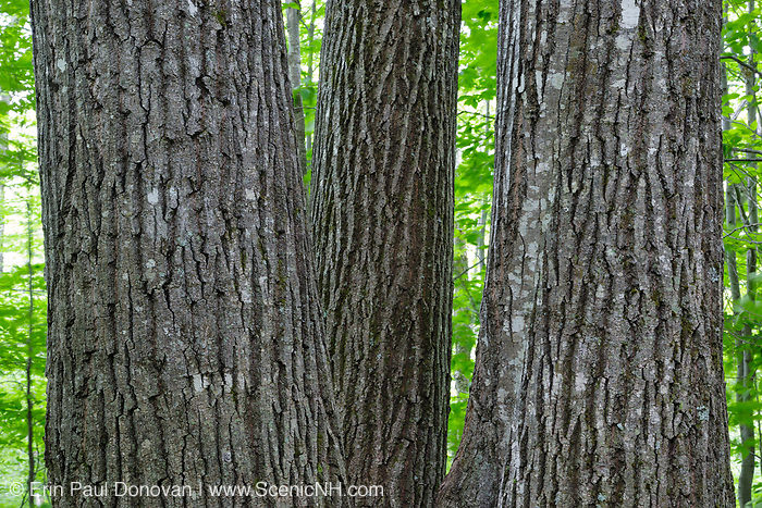 Northern red oak (Quercus rubra L.) trees in a northern hardwood forest along the Dry River Trail during the summer months in Crawford Notch State Park of the White Mountains, New Hampshire USA.