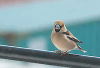 Hawfinch the day it showed up on the APL China, south of the Aleutian Islands 5/11/16