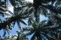 INDIA, Little Andaman, plantation with oil palm on deforested forest / INDIEN, Andamanen, Plantage mit Oelpalmen auf gerodetem Regenwald zur Gewinnung von Palmoel