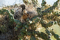 Cactus Wren, Campylorhynchus brunneicapillus, enters its nest in a cholla cactus in Saguaro National Park, Arizona