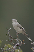 Townsend's Solitaire, Myadestes townsendi, adult singing, Yellowstone NP,Wyoming, September 2005