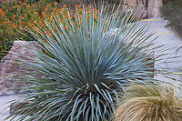 Dasylirion wheeleri, (Desert Spoon, Spoon Yucca), Living Desert, Palm Springs, California