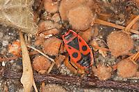 Gemeine Feuerwanze, Feuer-Wanze, Feuer - Wanze, saugt an Linden-Früchten, Pyrrhocoris apterus, firebug