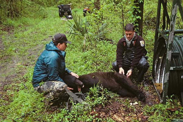 Steven R. Reagan, Ph.D (left) and David Soileau, Jr of the USFWS study a Louisiana Black Bear at Tensas River National Wildlife Refuge, Louisiana.  April.