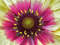 Close up of Fanfare Citronella Gaillardia.