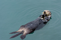 Northern Sea Otter (Enhydra lutris) feeding in calm bay in Prince William Sound, Alaska.  Spring.