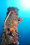 Trumpet fish on Wreck