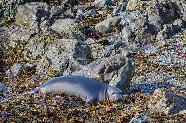 """Northern Elephant Seal (Mirounga angustirostris) pup (often called a """"weaner"""") resting in kelp and seaweed that has washed ashore.  Central California coast."""