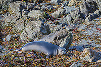 "Northern Elephant Seal (Mirounga angustirostris) pup (often called a ""weaner"") resting in kelp and seaweed that has washed ashore.  Central California coast."