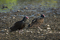 Turkey vultures, Cathartes aura, at shoreline of Pena Blanca Lake, Coronado National Forest, Arizona