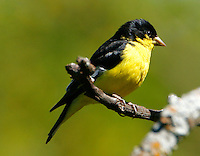 Adult male Texas-form lesser goldfinch