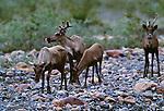 Woodland caribou, Ravensthroat River, Northwest Territories, Canada