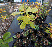 BNPS.co.uk (01202 558833)<br /> Pic: PhilYeomans/BNPS<br />  <br /> Oak saplings from the ancient oaks.<br /> <br /> A herd of British white cattle is being returned to help manage ancient woodland on the Blenheim Estate.<br /> <br /> Some 45 cattle, including 21 cows, 23 calves and Sebastian the bull, have been released into High Park, a wooded area of the Oxfordshire estate that was originally created by King Henry I as a deer park in the 12th century. <br /> <br /> It is the first time the woods have been grazed by livestock for more than a century and it is hoped their re-introduction will encourage new tree growth.