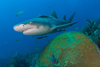 emon shark, Negaprion brevirostris, swimming over brain coral, Bahamas Bank, Bahamas, Atlantic. Note remoras attached