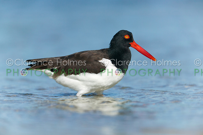 American Oystercatcher (Haematopus palliatus) searching for food in the surf at Fort Desoto Park, Tierra Verde, Florida, USA