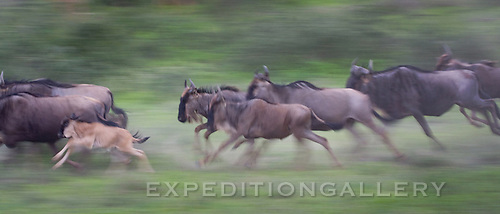 Days old wildebeest calf runs with the herd at Lake Ndutu, Ngorongoro Conservation Area, Tanzania.