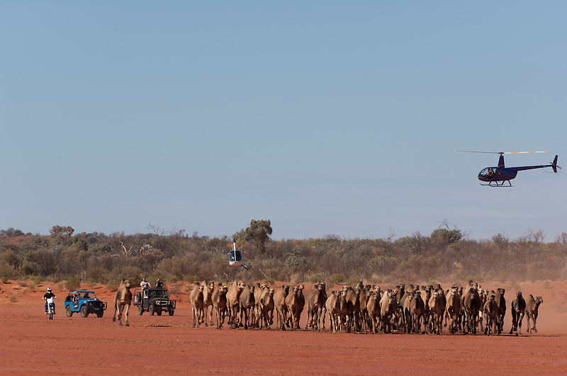 Wild Camels in the Australian desert being mustered by motor bike, helicopter and 4wd, aerial,  Central Australia, Northern Territory, Australia.