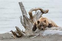 Coastal Grizzly Bear (ursus arctos) Hangs out on a tree stump, Alaska.