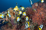 Russell Islands, Solomon Islands; an aggregation of pyramid and pacific double-saddle butterflyfish swimming over colorful soft corals on the reef