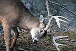 whitetail deer buck scraping antlers against tree