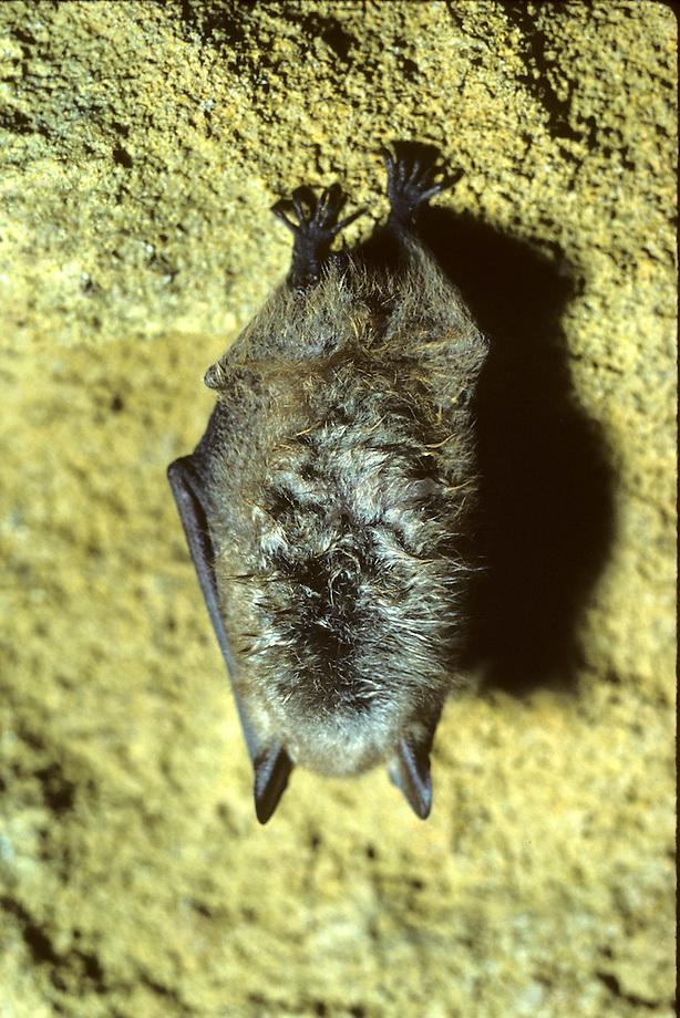 Ingekorven vleermuis (Myotis emarginatus) in winterslaap