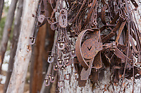 A trapper's rusty leg traps hanging on a tree outside a bush cabin.