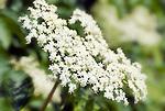 Austria, Black Elder (Sambucus nigra), blossom | Oesterreich, Schwarzer Holunder (Sambucus nigra), Bluetenstaende