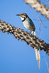 Long-tailed Ground Roller (Uratelornis chimaera) perched in Octopus Tree (Didiereaceae). Ifaty Spiny Forest, Madagascar.