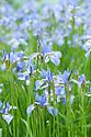 Iris sibirica 'Canonbury Belle', mid May.