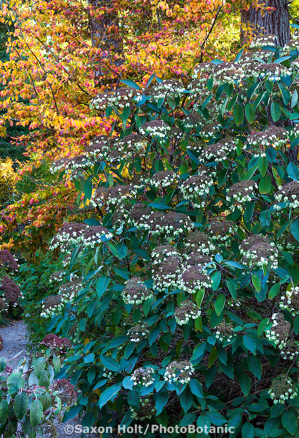 Gravel path and flowering shrub Hydrangea aspera 'Rocklin' in front of Parrotia with fall color in Gary Ratway garden