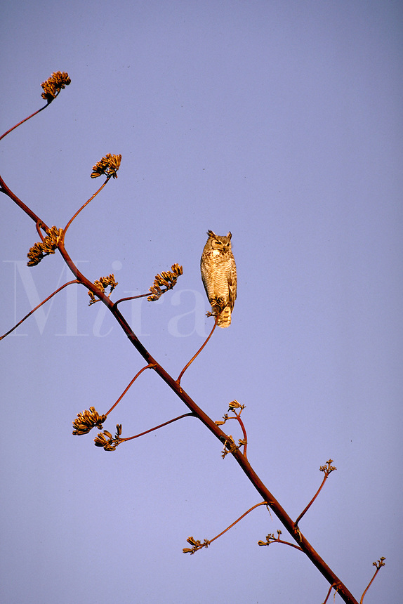 Great Horned Owl, Bubo virginianus, is perched on an agave stalk. animals, birds, wildlife, carnivores. Great Horned Owl. Arizona.