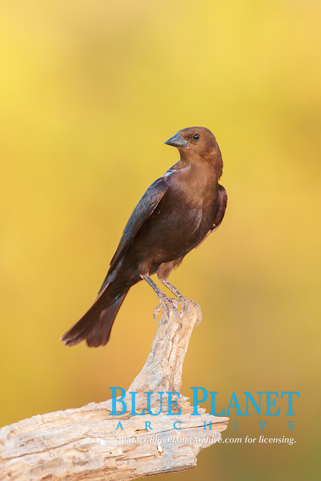 bird, Brown-headed cowbird, male, Molothrus ater, bird is brood parasitic - laying its eggs in other small birds nest, Amado, Arizona, USA