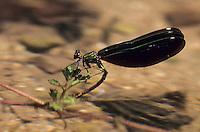 Blauflügel-Prachtlibelle, Prachtlibelle, Weibchen bei der Eiablage, Calopteryx virgo, bluewing, Beautiful Demoiselle, demoiselle agrion, female, egg deposition, oviposition