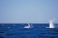 gray whale, Eschrichtius robustus, penis showing at surface during courtship socialization, San Ignacio Lagoon, Mexico, Pacific Ocean
