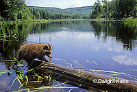 MA25-136z  Raccoon - young raccoon exploring by pond - Procyon lotor