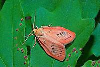 Rosen-Flechtenbärchen, Rosenmotte, Rosaroter Flechtenbär, Miltochrista miniata, Phalaena rosacea, Rosy Footman, La rosette, Bärenspinner, Arctiinae, Arctiidae