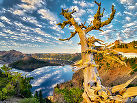 Dead Whitebark Pine tree with puffy cloud reflection, Crater Lake and Wizard Island. Crater Lake National Park, Oregon
