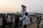 A horse owner tries to control its horse at Pushkar fair ground. Rajasthan, India.