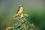 Tropical kingbird, Panama