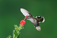 Calliope Hummingbird (Stellula calliope), female feeding onTurk's Cap (Malvaviscus drummondii), Gila National Forest, New Mexico, USA