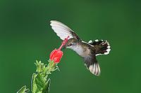 Calliope Hummingbird (Stellula calliope), female feeding onTurk's Cap (Malvaviscus drummondii), Gila National Forest, New Mexico, USA