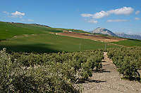 Fields of olive trees between the villages of Alora and Antequera in Andalusia, Spain.