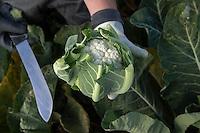 Freshly cut cauliflower - LIncolnshire, October