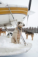 A Bruce Linton dog waits outside volunteer pilot Bruce Morony 's plane at Takotna for a ride back to McGrath during Iditarod 2009