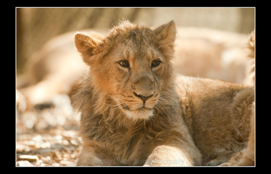 Asiatic lion (Panthera leo persica) - Zoological Society of London - 16th March 2010