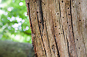 Close up of a veteran English Oak tree {Quercus robur}, showing area of dead wood that is an imporant habitat for a huge range of invertebrates. Derbyshire, UK. September.