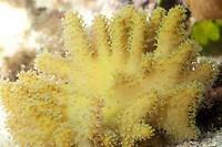 Coral, Lobophytum sp.