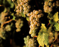Clusters of SAUVIGNON BLANC glisten in the morning dew at harvest time.