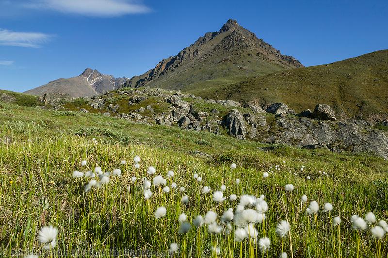 Alaska cotton grows along the tundra of the Brooks Range mountains under 24hour sunlight, Alaska