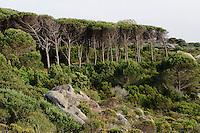 Pinien auf Isola Caprera, La Maddalena-Archipel (Arcipelago della Maddalena), Provinz Olbia-Tempio, Nord Sardinien, Italien
